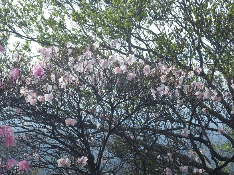 赤川浦岳へ、白のアケボノツツジを求めて_e0164643_15482780.jpg