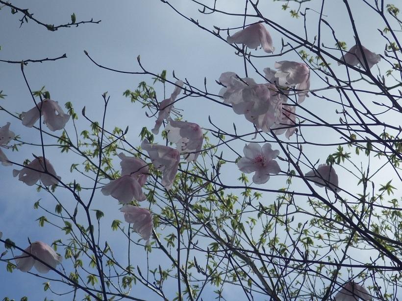 赤川浦岳へ、白のアケボノツツジを求めて_e0164643_15484261.jpg
