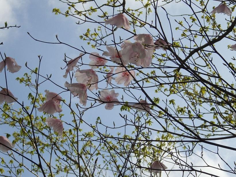 赤川浦岳へ、白のアケボノツツジを求めて_e0164643_15484846.jpg