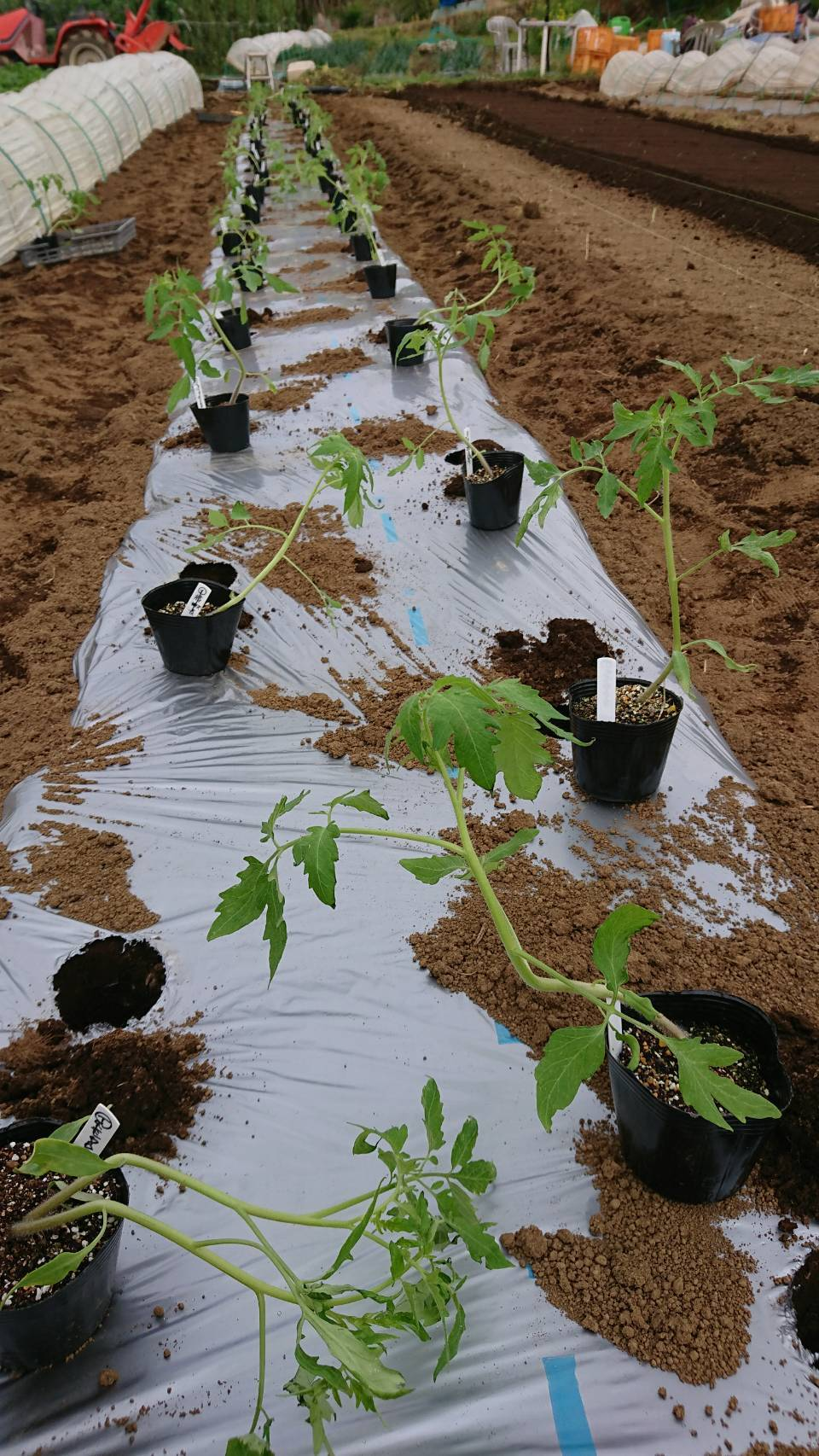 トマトの苗定植終了 明日から茄子とパプリカ・・・_c0222448_15354148.jpg