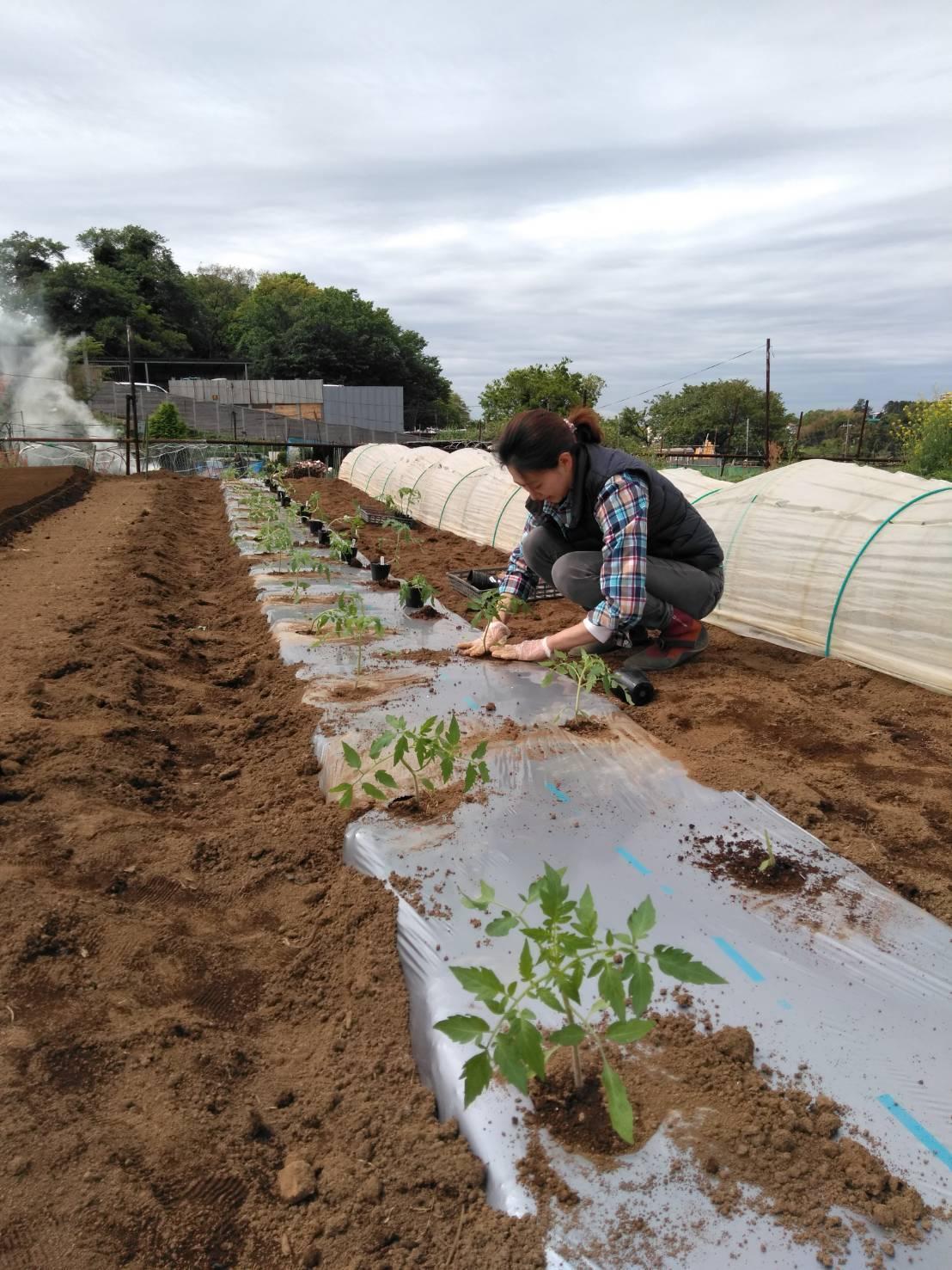 トマトの苗定植終了 明日から茄子とパプリカ・・・_c0222448_15394790.jpg