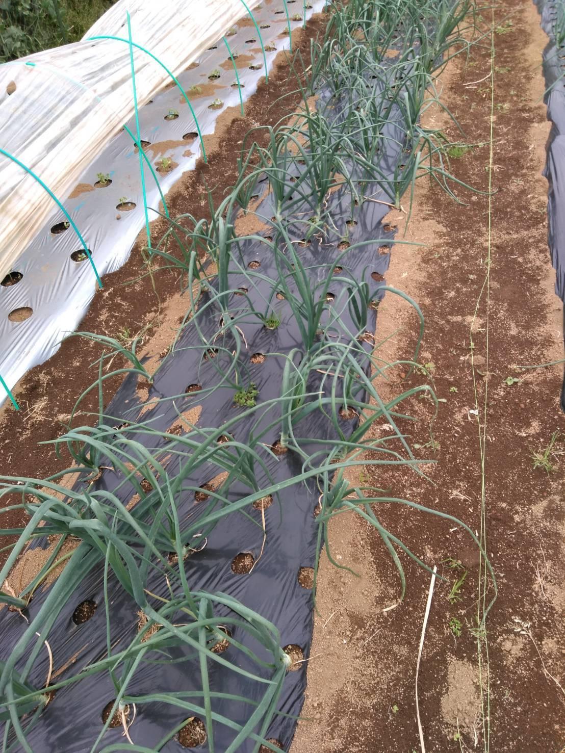 トマトの苗定植終了 明日から茄子とパプリカ・・・_c0222448_15442465.jpg