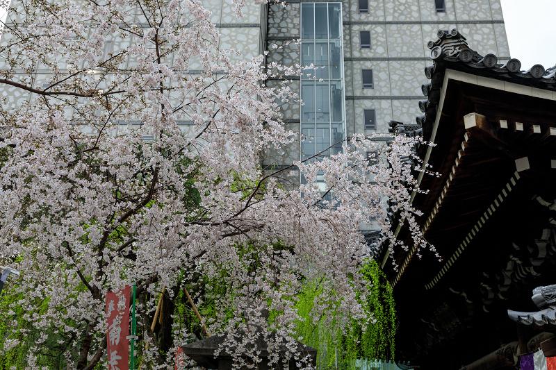 桜咲く京都2019 六角堂・御幸桜_f0155048_20533262.jpg