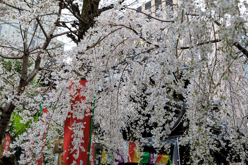 桜咲く京都2019 六角堂・御幸桜_f0155048_20535397.jpg