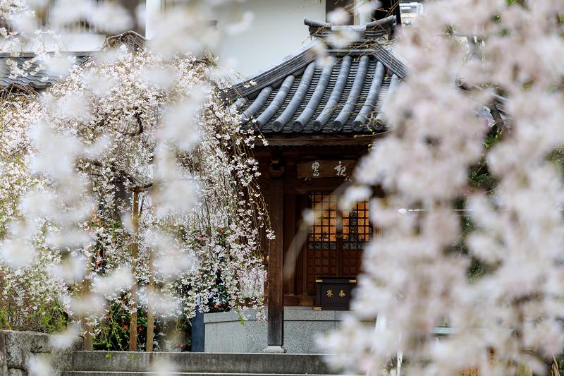 桜咲く京都2019 六角堂・御幸桜_f0155048_20542839.jpg