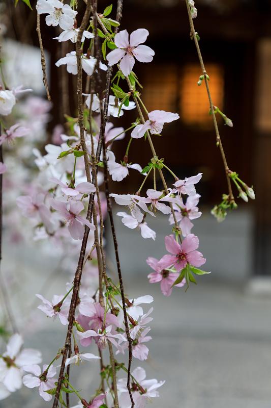 桜咲く京都2019 六角堂・御幸桜_f0155048_2054537.jpg