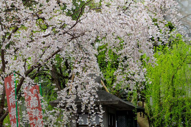 桜咲く京都2019 六角堂・御幸桜_f0155048_20553473.jpg