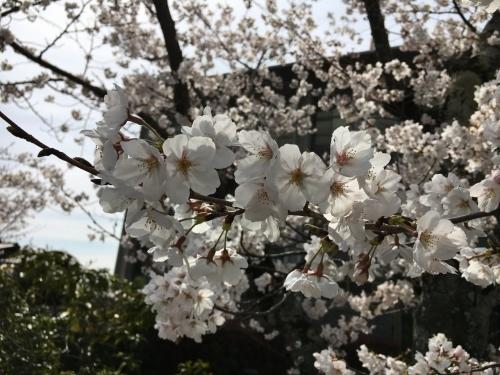 京都の旅\'19 Ⅲ 京都桜旅その1_e0326953_22075980.jpg