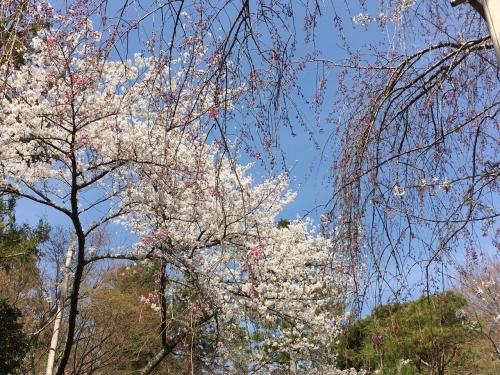 京都の旅\'19 Ⅲ 京都桜旅その1_e0326953_22175300.jpg