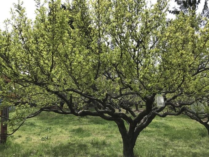 梅の実_f0303858_10061581.jpeg