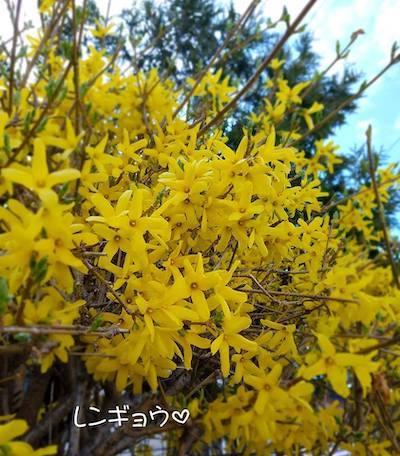 GW10連休スタートと春の花<札幌の暮らし情報>_a0293265_17052739.jpg