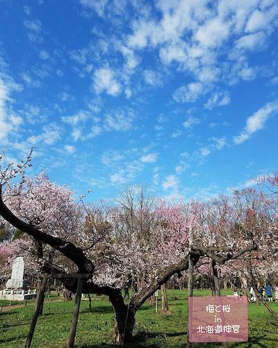 桜と梅を同時に楽しめる札幌のオススメお花見スポット!_a0293265_17053642.jpg