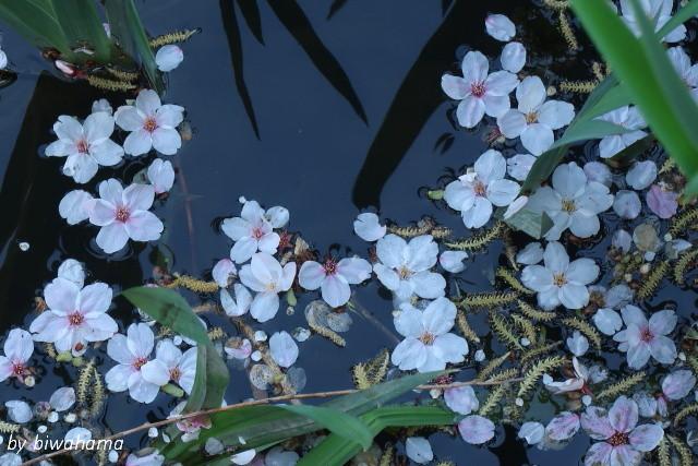 故郷の春~八幡堀にて_b0055171_16335298.jpg