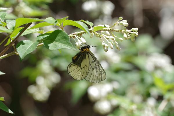 ミツバウツギに来る春の蝶_e0167571_21514457.jpg
