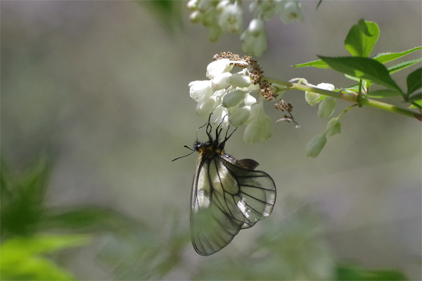 ミツバウツギに来る春の蝶_e0167571_2152250.jpg