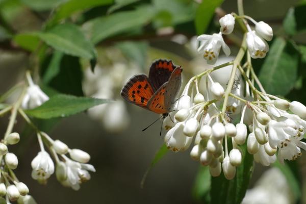 ミツバウツギに来る春の蝶_e0167571_21523075.jpg