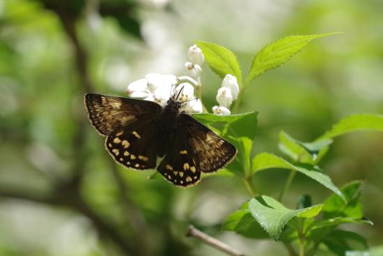 ミツバウツギに来る春の蝶_e0167571_21524538.jpg