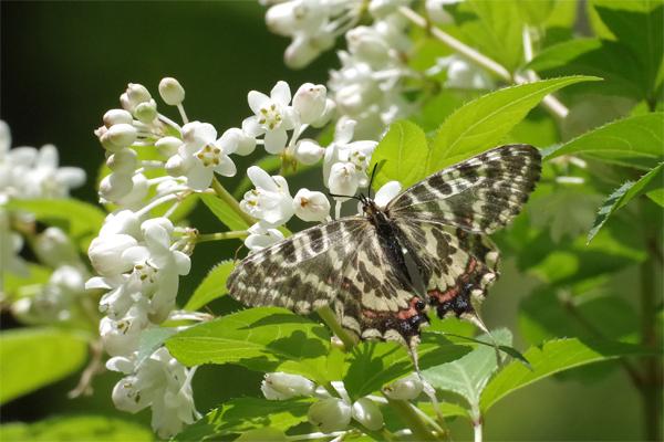 ミツバウツギに来る春の蝶_e0167571_21525977.jpg