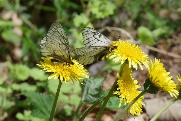 ミツバウツギに来る春の蝶_e0167571_21531097.jpg