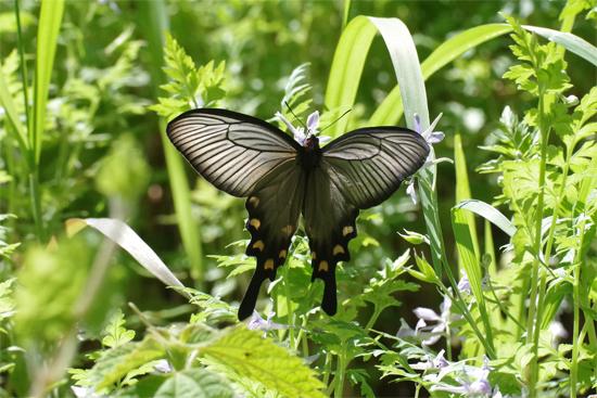 ミツバウツギに来る春の蝶_e0167571_21532387.jpg