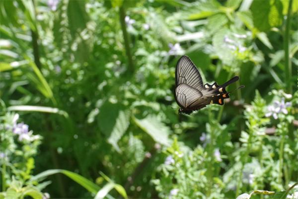 ミツバウツギに来る春の蝶_e0167571_21534346.jpg