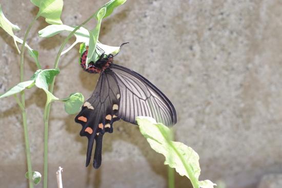 ミツバウツギに来る春の蝶_e0167571_21535790.jpg