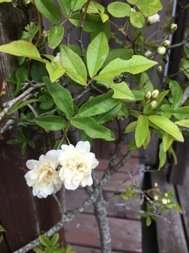 庭の花たち 〜初夏の香り〜_c0334574_20054588.jpg