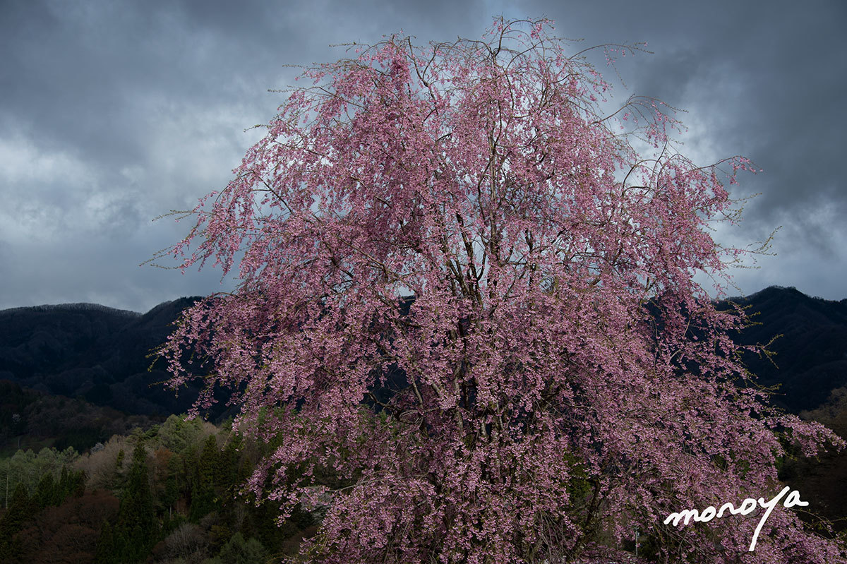 小川村立屋の桜_c0085877_04433525.jpg