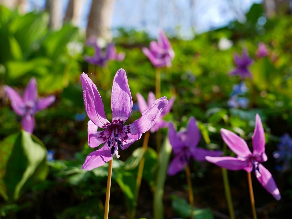 千歳郊外のカタクリの花、2019.4.29_f0138096_21085532.jpg