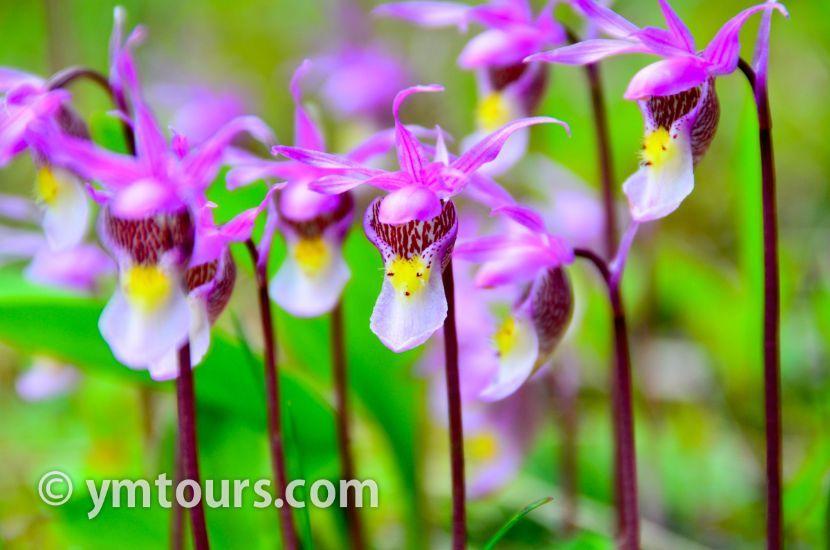 カナディアンロッキー 夏のハイキングシーズン到来間近! 高山植物の魅力と種類を大特集します。_d0112928_06334290.jpg