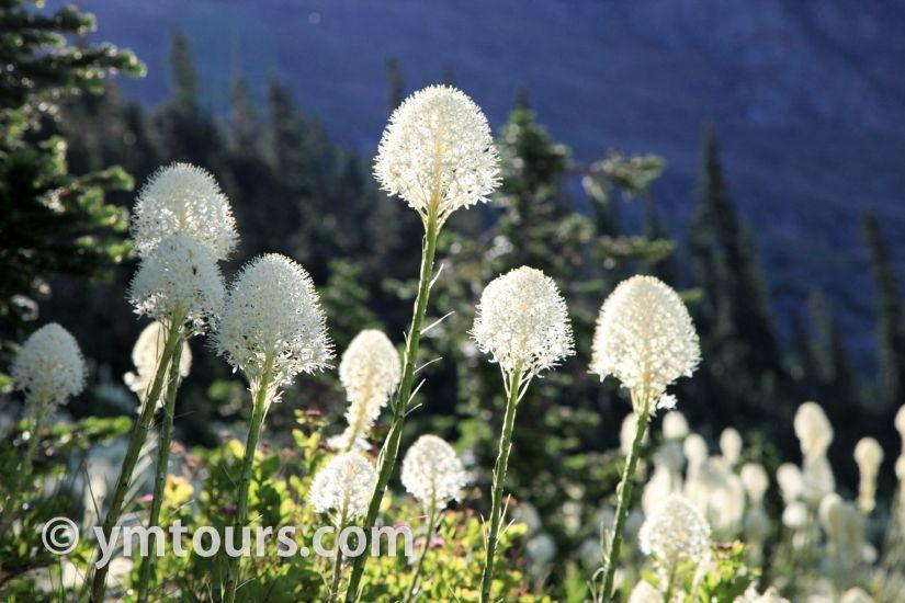 カナディアンロッキー 夏のハイキングシーズン到来間近! 高山植物の魅力と種類を大特集します。_d0112928_06361939.jpg