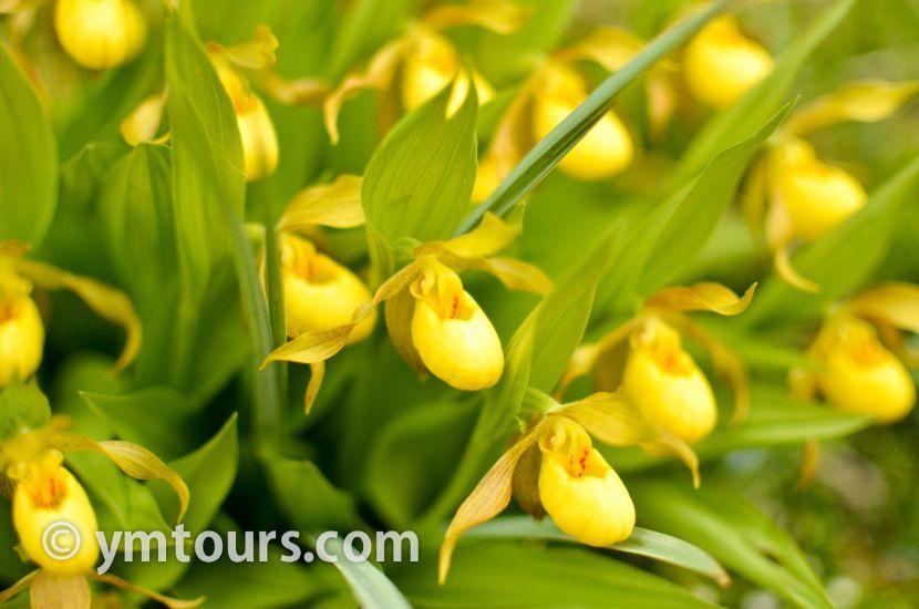 カナディアンロッキー 夏のハイキングシーズン到来間近! 高山植物の魅力と種類を大特集します。_d0112928_06391909.jpg