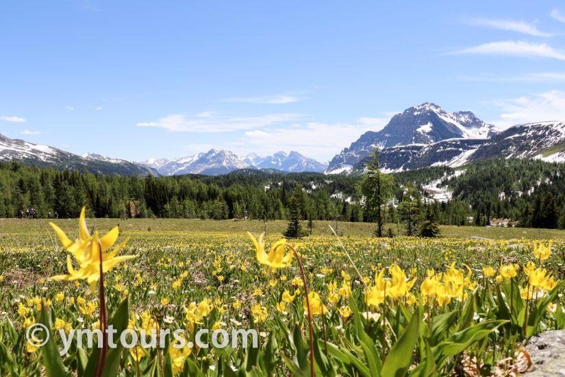 カナディアンロッキー 夏のハイキングシーズン到来間近! 高山植物の魅力と種類を大特集します。_d0112928_06431427.jpg