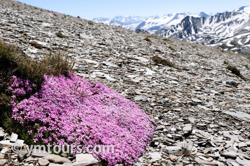 カナディアンロッキー 夏のハイキングシーズン到来間近! 高山植物の魅力と種類を大特集します。_d0112928_06435844.jpg