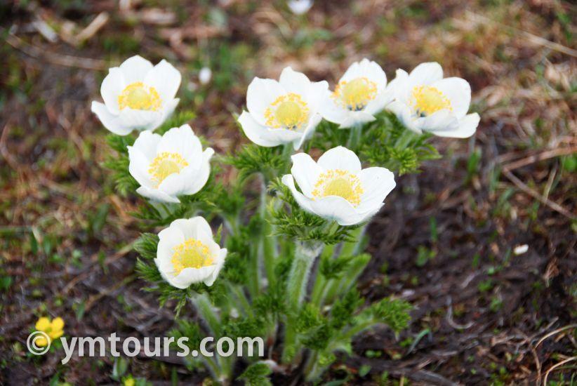 カナディアンロッキー 夏のハイキングシーズン到来間近! 高山植物の魅力と種類を大特集します。_d0112928_06440647.jpg