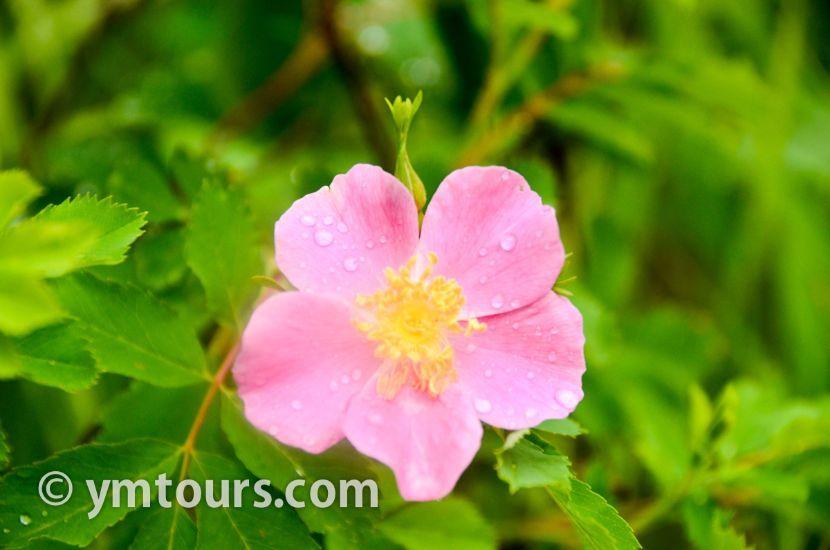 カナディアンロッキー 夏のハイキングシーズン到来間近! 高山植物の魅力と種類を大特集します。_d0112928_06444345.jpg
