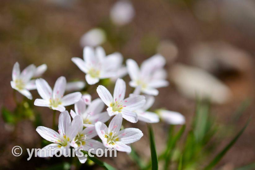 カナディアンロッキー 夏のハイキングシーズン到来間近! 高山植物の魅力と種類を大特集します。_d0112928_06445054.jpg