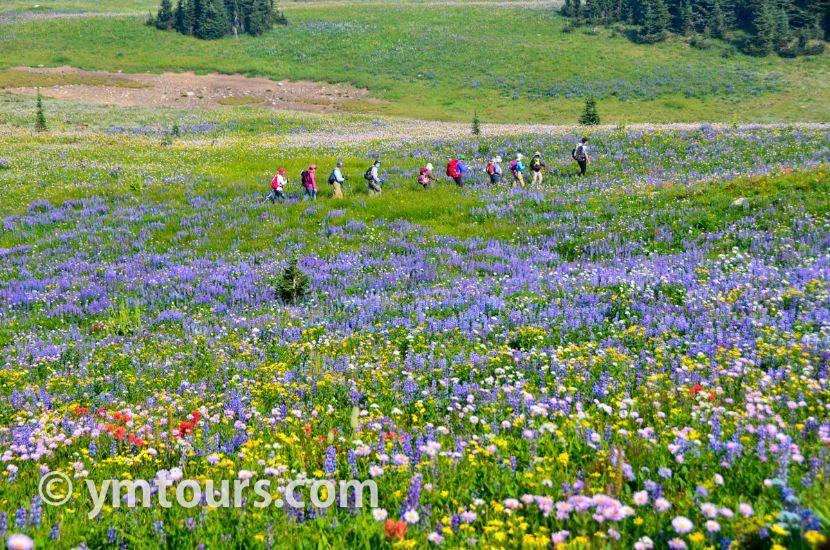 カナディアンロッキー 夏のハイキングシーズン到来間近! 高山植物の魅力と種類を大特集します。_d0112928_06460918.jpg