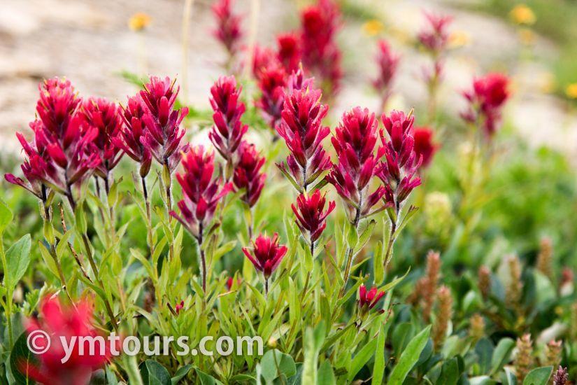 カナディアンロッキー 夏のハイキングシーズン到来間近! 高山植物の魅力と種類を大特集します。_d0112928_06492637.jpg