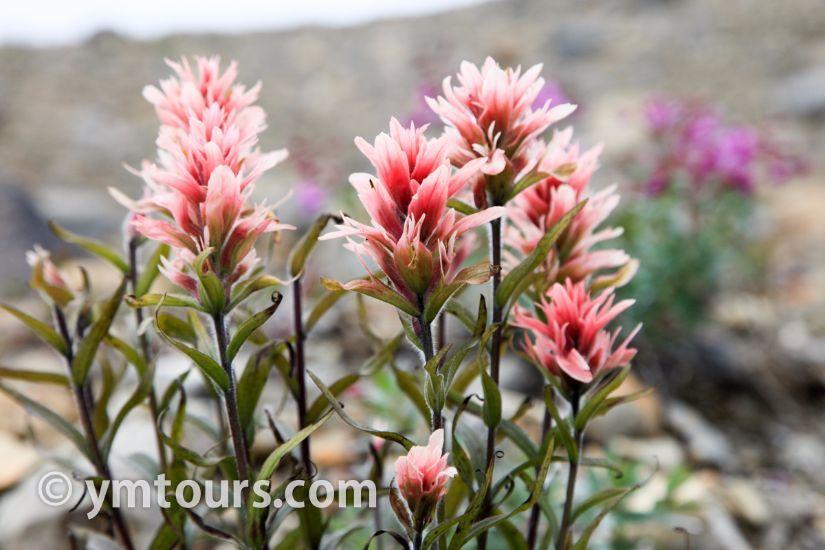 カナディアンロッキー 夏のハイキングシーズン到来間近! 高山植物の魅力と種類を大特集します。_d0112928_06493034.jpg