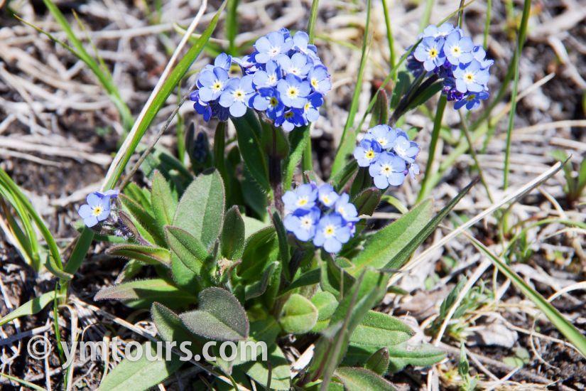 カナディアンロッキー 夏のハイキングシーズン到来間近! 高山植物の魅力と種類を大特集します。_d0112928_06510258.jpg