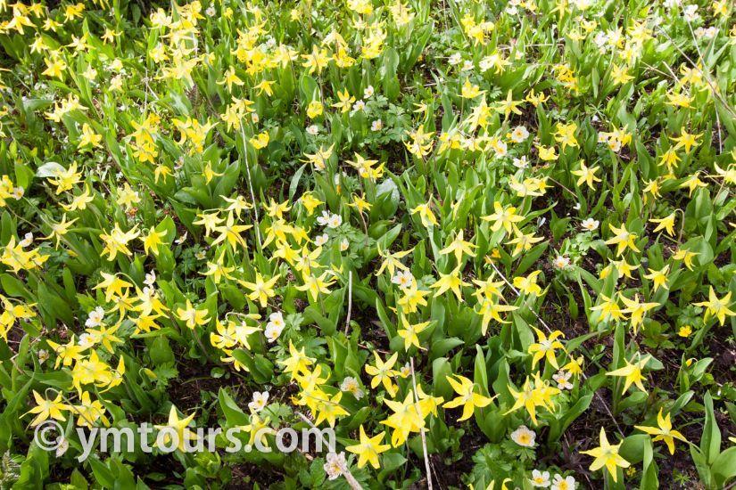 カナディアンロッキー 夏のハイキングシーズン到来間近! 高山植物の魅力と種類を大特集します。_d0112928_06522967.jpg