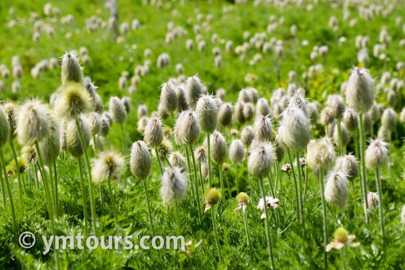 カナディアンロッキー 夏のハイキングシーズン到来間近! 高山植物の魅力と種類を大特集します。_d0112928_07031921.jpg