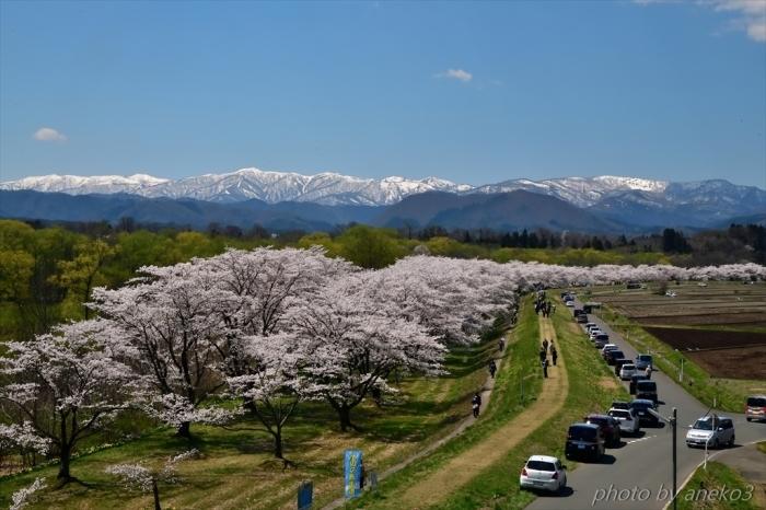 みちのく桜情景(雫石川園地)3_d0067934_09133681.jpg