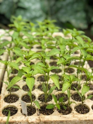 今朝は土砂降りにやられました 風も強く蚕豆とエンドウ豆の畝の間に避難しながら収穫です_c0222448_11544019.jpg