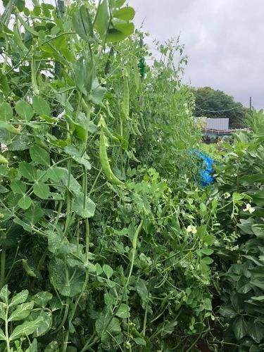 今朝は土砂降りにやられました 風も強く蚕豆とエンドウ豆の畝の間に避難しながら収穫です_c0222448_11551134.jpg