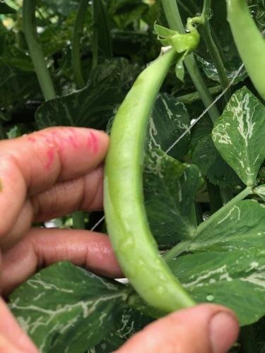 今朝は土砂降りにやられました 風も強く蚕豆とエンドウ豆の畝の間に避難しながら収穫です_c0222448_11560124.jpg