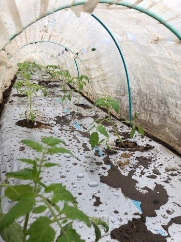 今朝は土砂降りにやられました 風も強く蚕豆とエンドウ豆の畝の間に避難しながら収穫です_c0222448_11572774.jpg