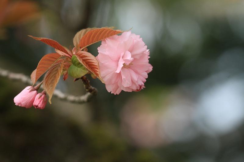 桜_c0155950_20573333.jpg