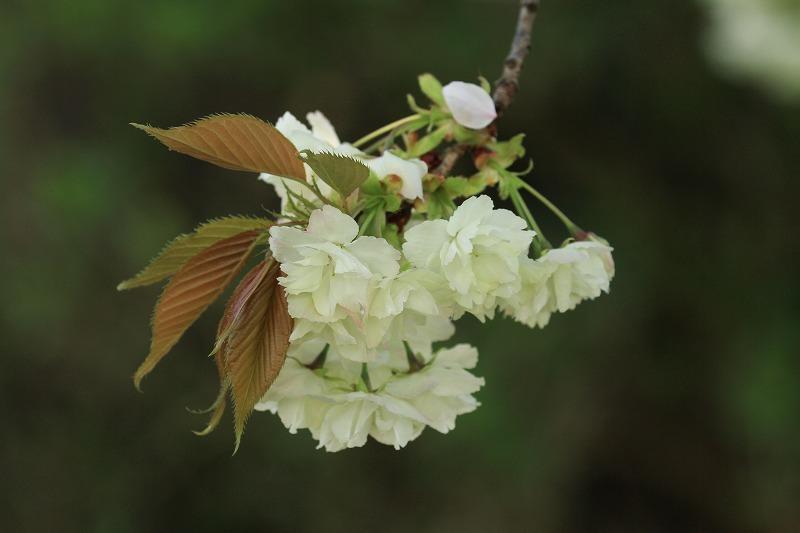 桜_c0155950_20575024.jpg